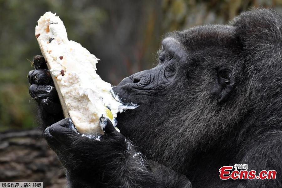 Fatou the gorilla celebrates 61st birthday at Berlin zoo