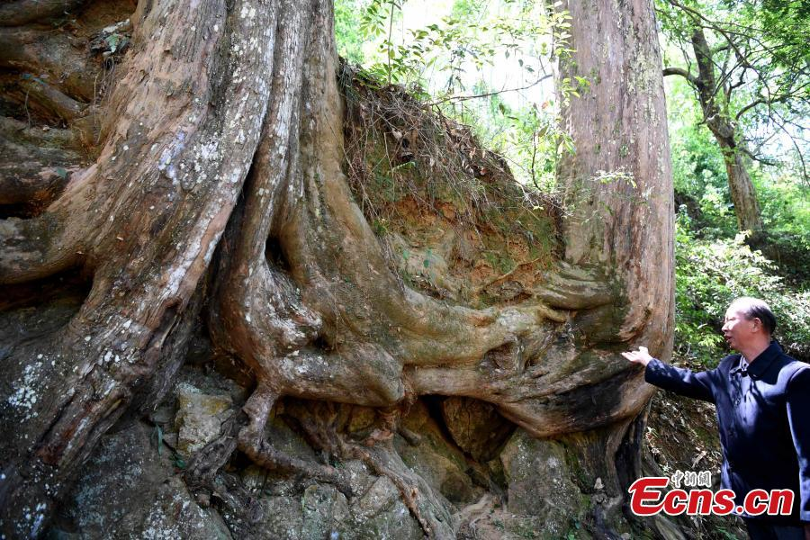 450-year-old trees share roots