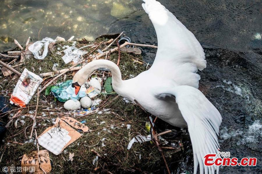 Copenhagen swan's poor nest made out of trash
