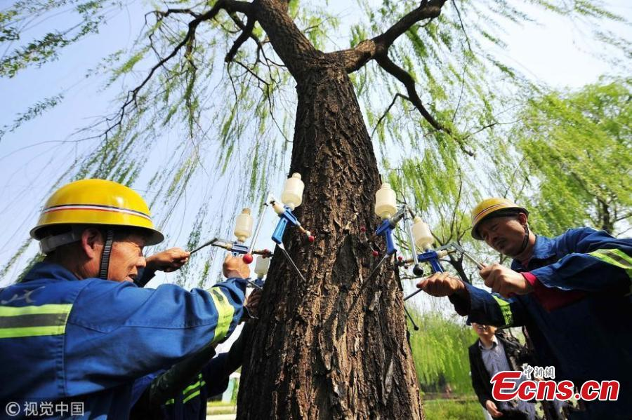 Beijing sterilizing trees to reduce catkin