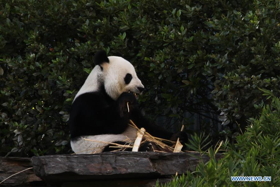 Daily life of pair of Chinese pandas in Adelaide Zoo