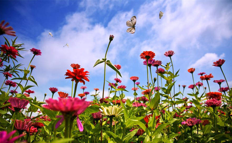 'Flower sea' in Fujian attracts tourists