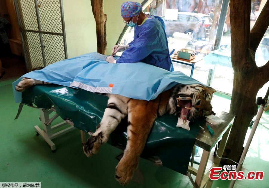 Siberian tiger 1st in world to receive stem cell treatment for joints