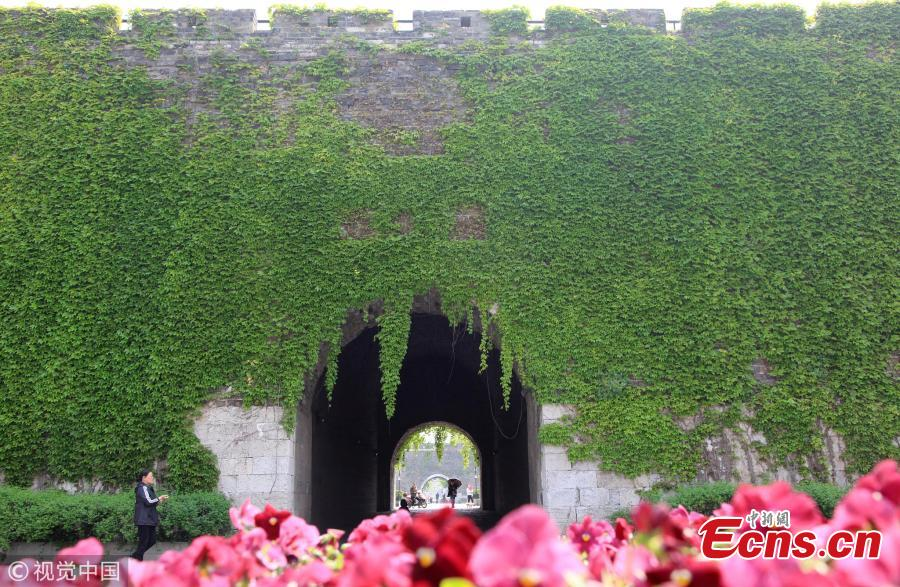 Ming Dynasty city gate covered with Boston ivy