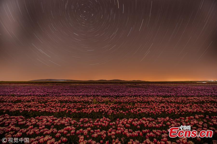 Tulips beneath stars in Turkey
