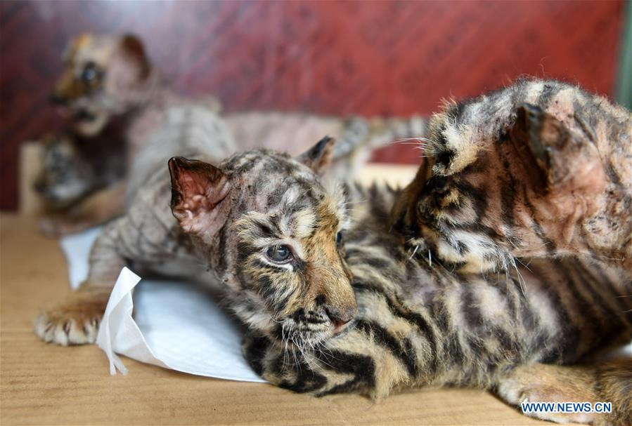 Heilongjiang breeding center welcomes over 30 Siberian tiger cubs