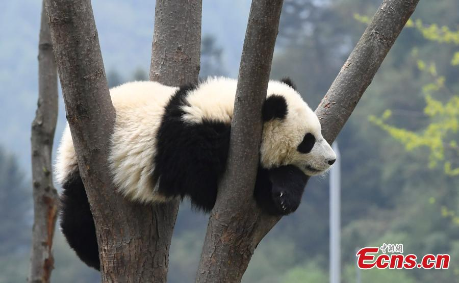 Giant panda enjoys the sunshine