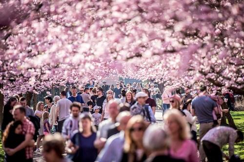 Copenhagen's cherry trees in full bloom
