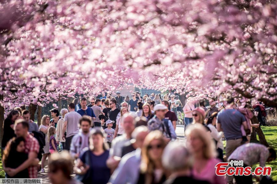 Copenhagen's cherry trees in full bloom
