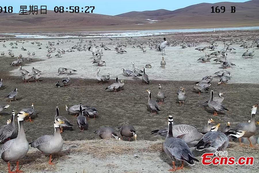 Highest-flying birds at Yangtze River headwaters