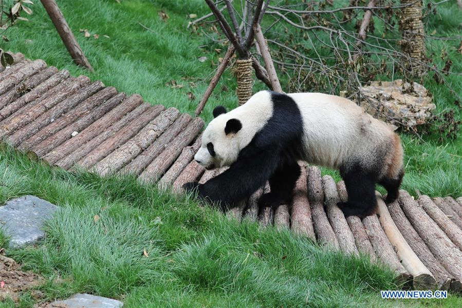 Two Giant pandas meet public in Guiyang after returning from overseas