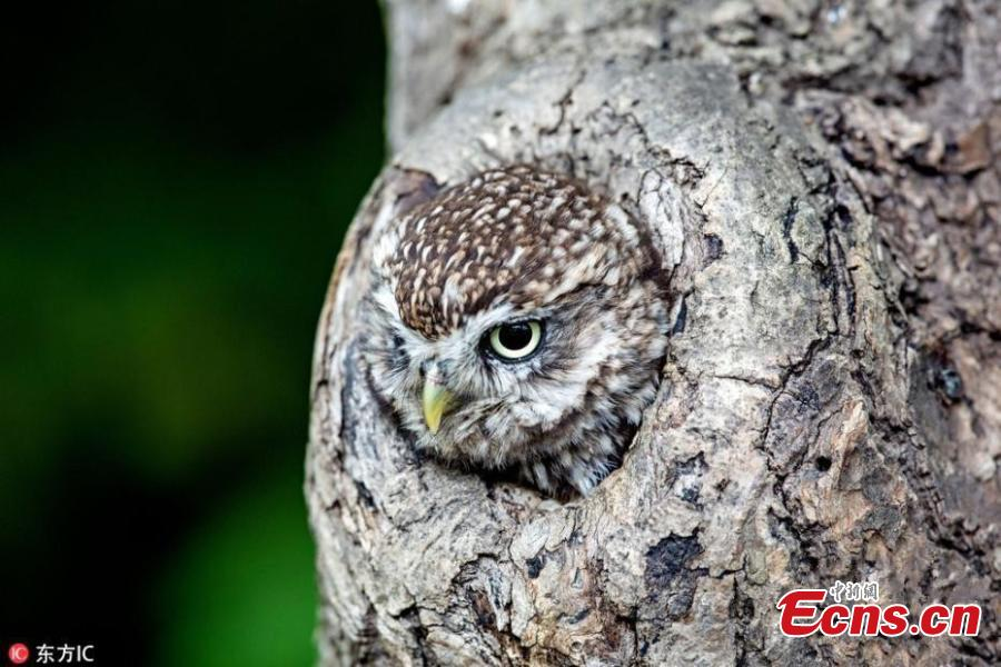 Photographer captures amazing moment perfectly-camouflaged owl