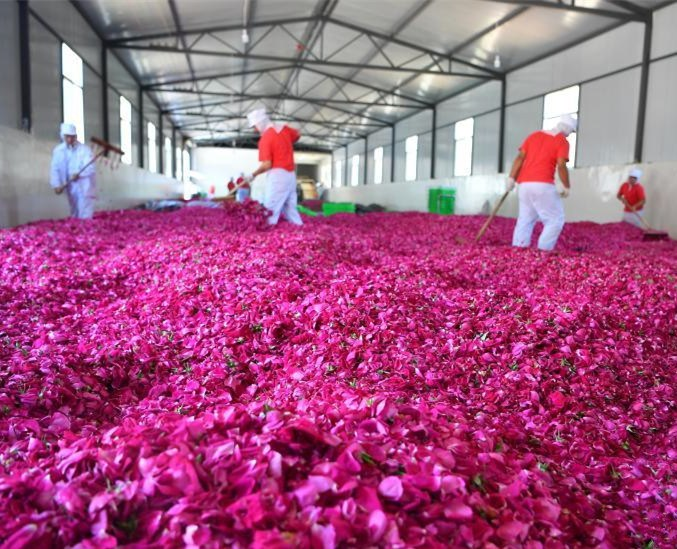 In pics: edible roses in Bajie, SW China's Yunnan