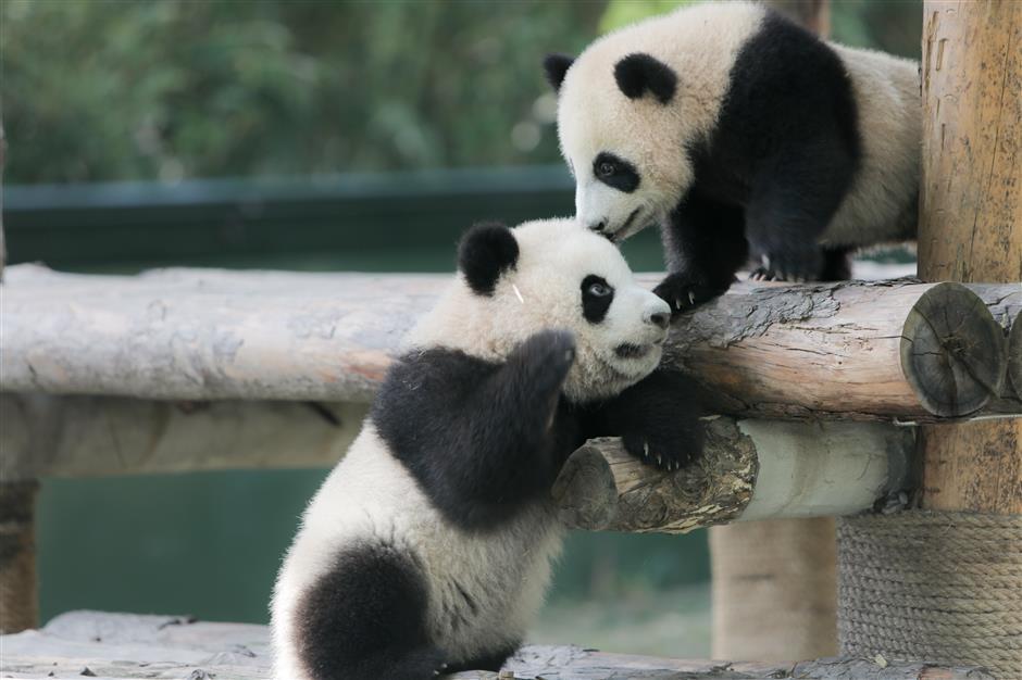6-month-old panda cubs get names