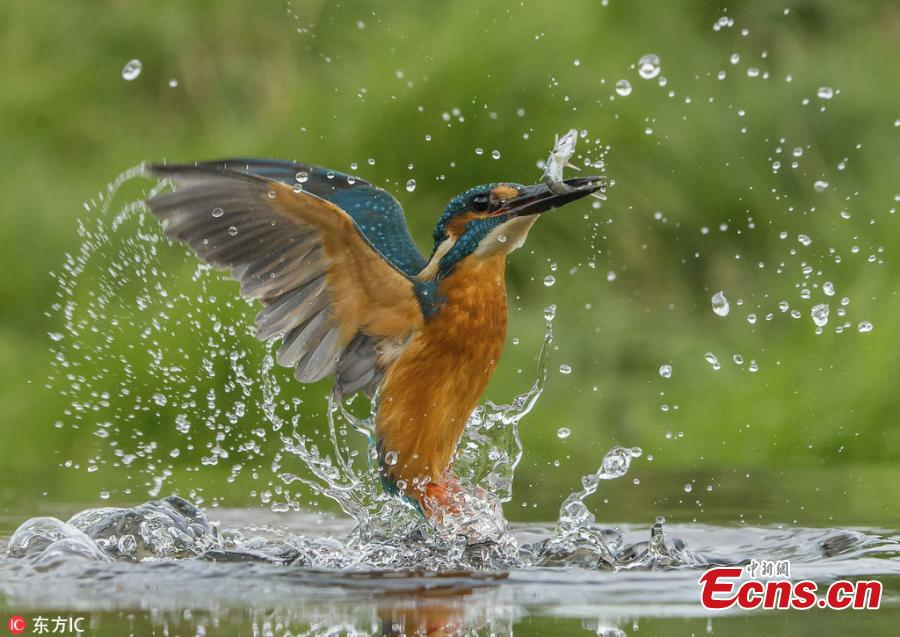 Photographer shows kingfisher launching a deadly attack