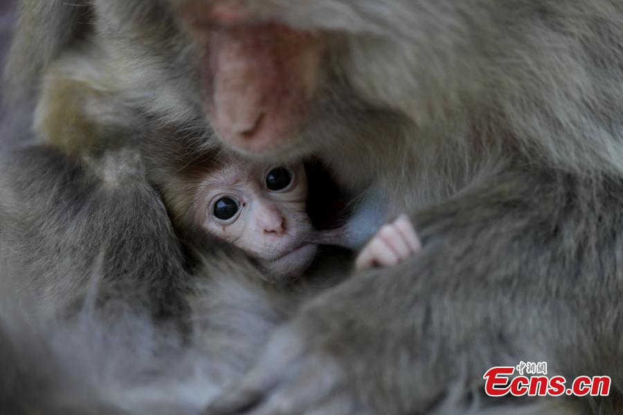 Central China's macaques natural reserve in birth peak
