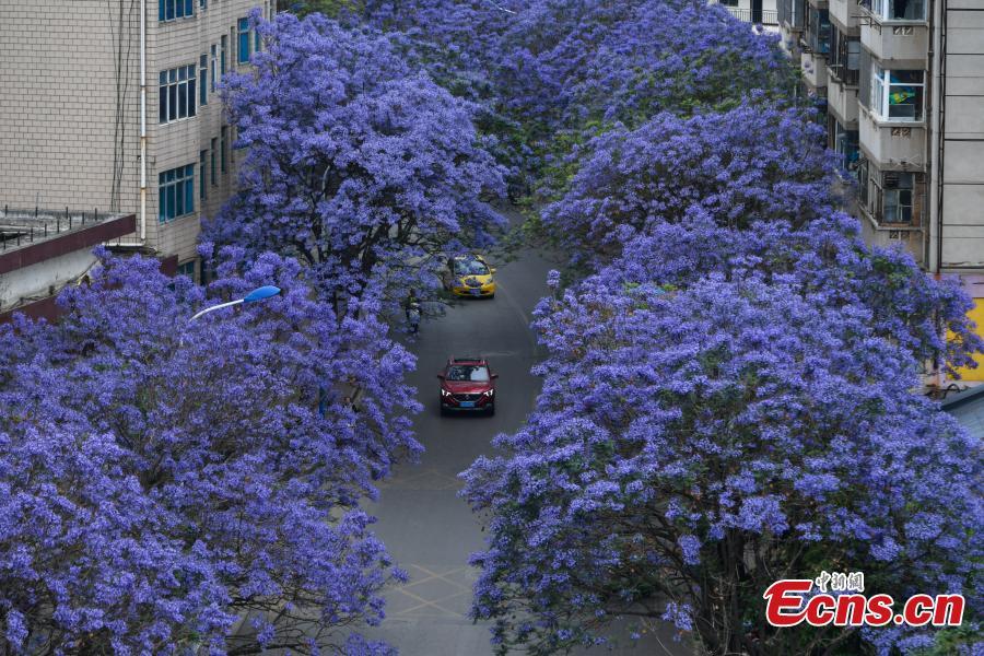 Blue blooms flank road in Kunming