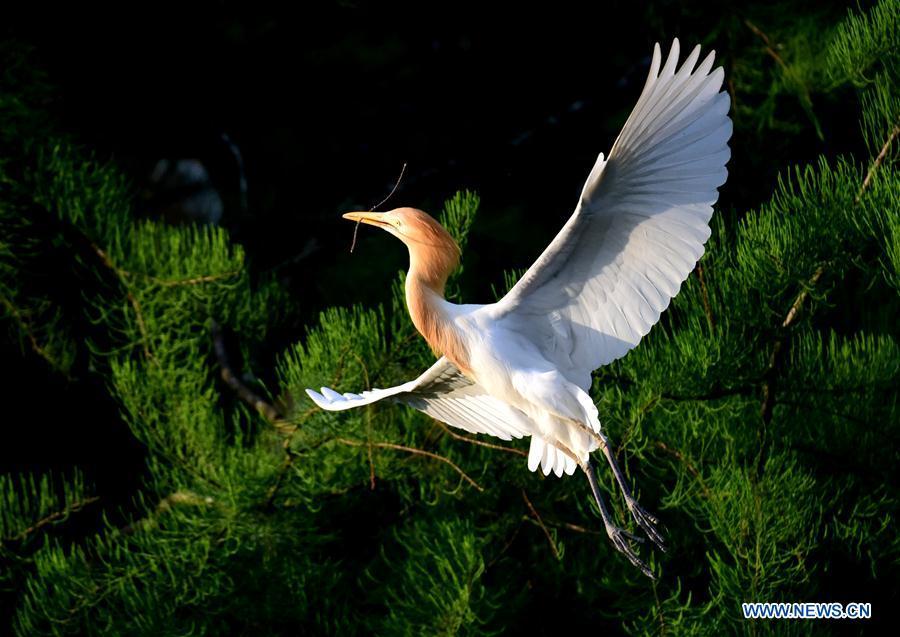 Egrets seen in forest in Henan