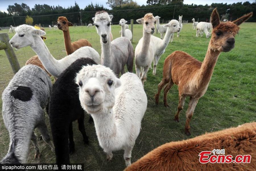 New Zealand marks National Alpaca Day