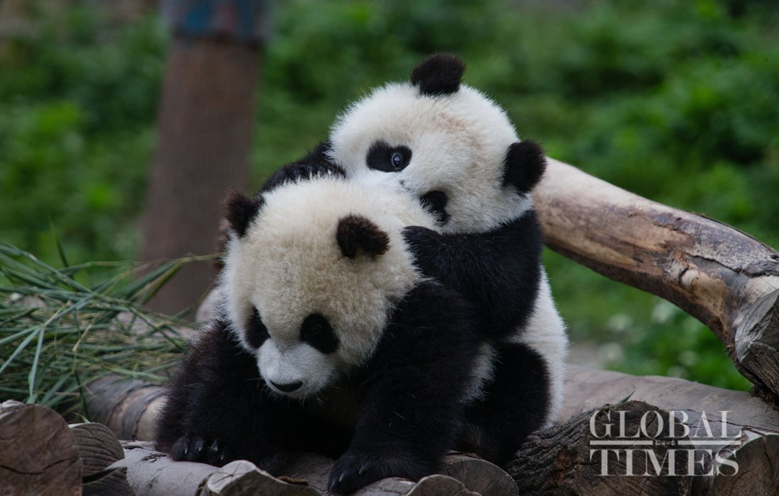 Shenshuping protection base in Sichuan now home to over 50 giant pandas