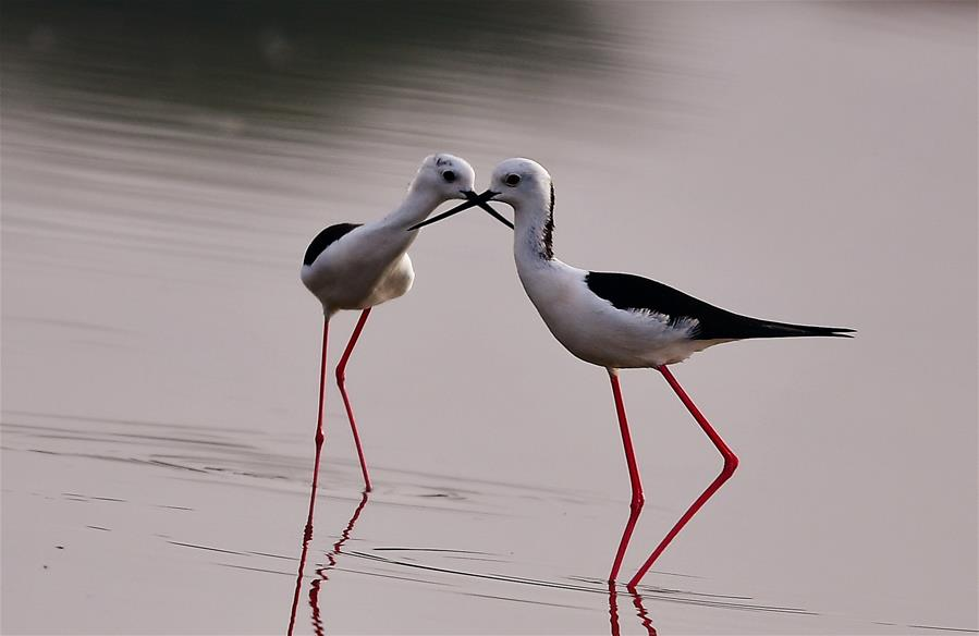 Black-winged stilts seen on shoal in Fujian