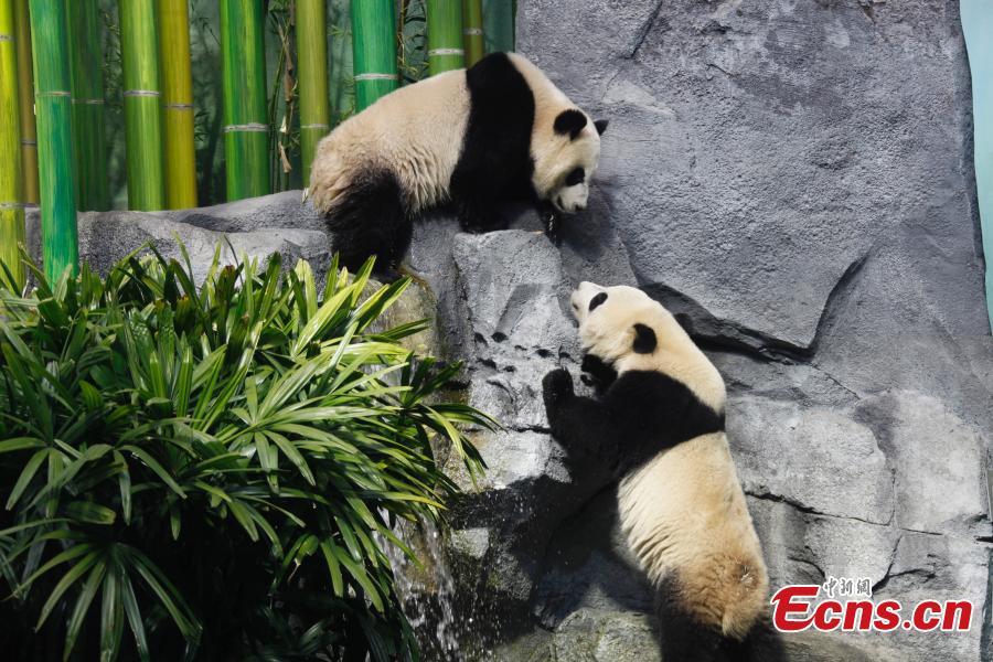 Calgary Zoo introduces giant panda family as exhibit opens its doors