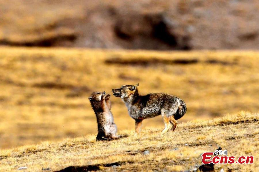 Photo captures cute moment between Tibetan foxes