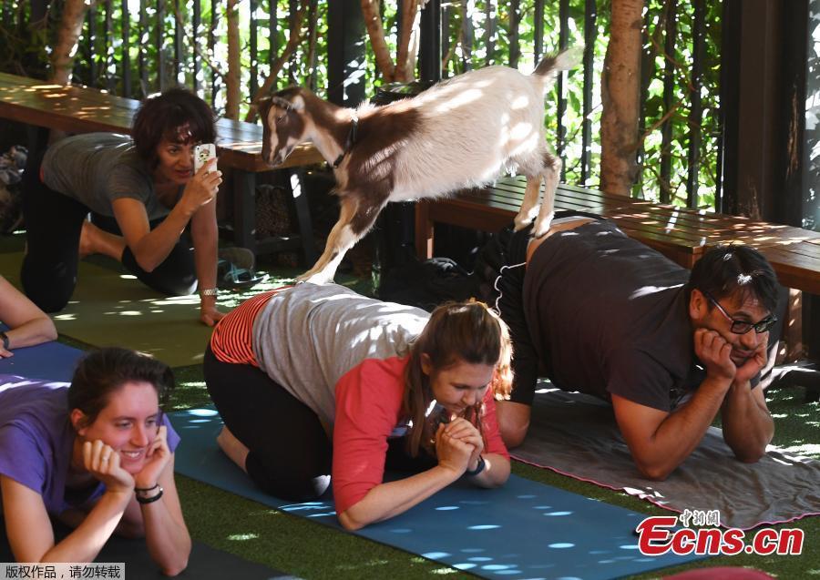 Goat yoga fitness craze sweeps U.S.