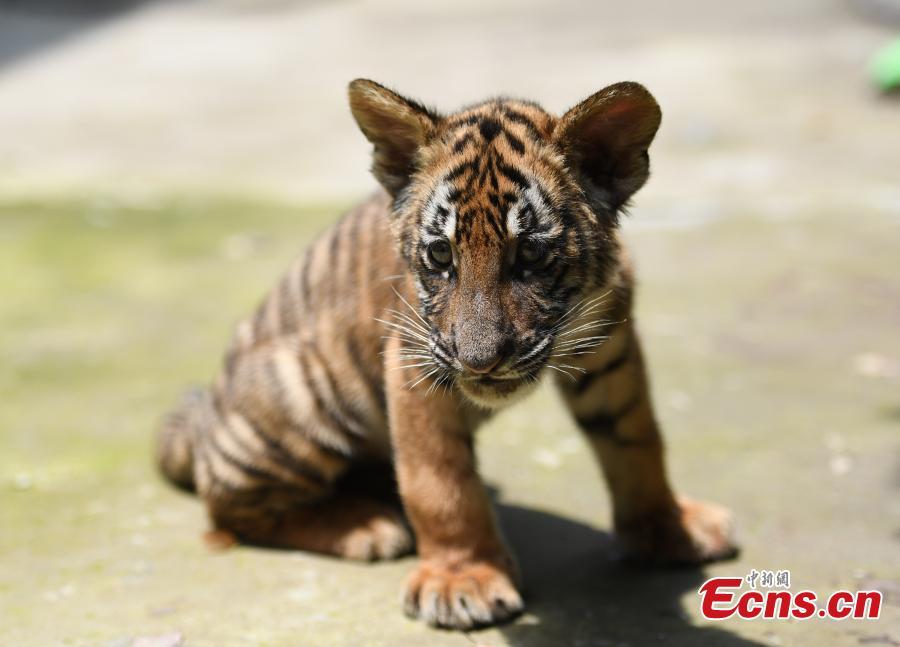 3-month-old tiger cub triplets meet the public