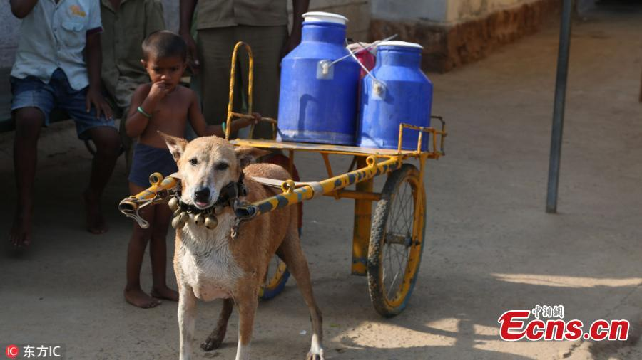 Adorable pooch delivers milk on special cart in India