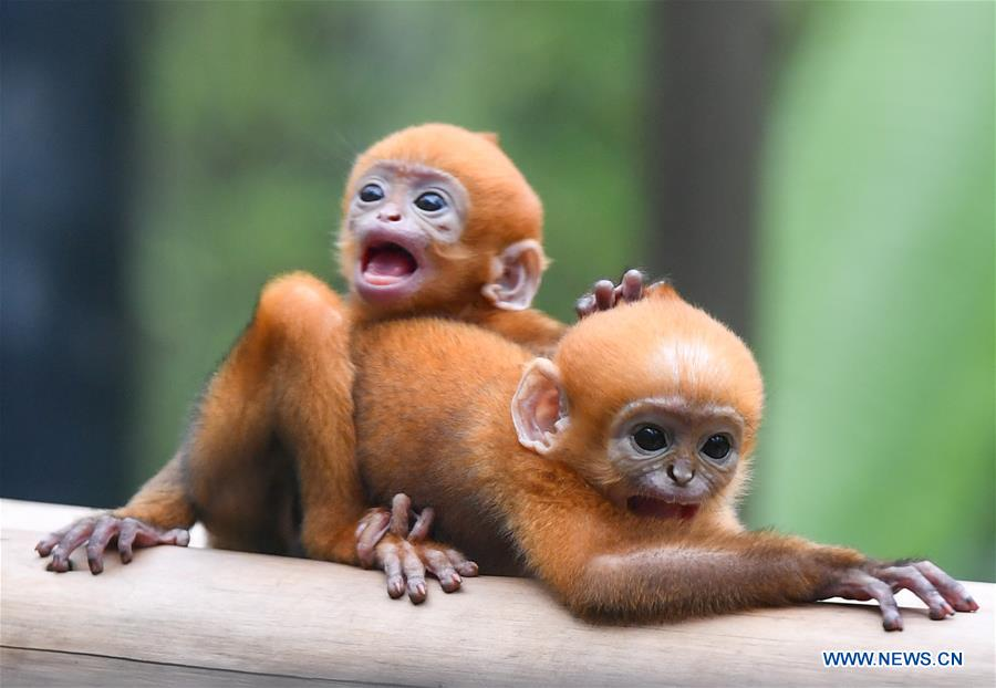 Francois' langur meets public with her unlike-sex twins in Guangzhou