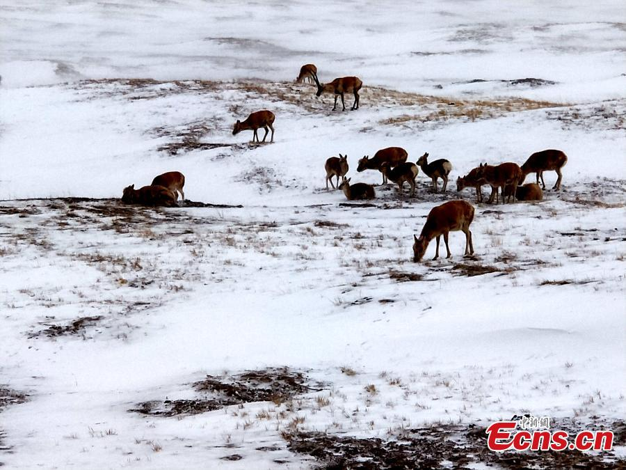Tibetan antelope search for food in snow