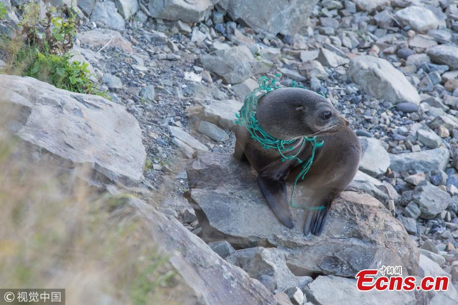 Poor seal trapped in fishing net in New Zealand