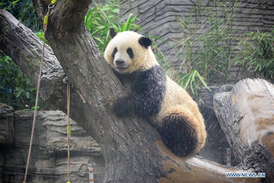 Giant panda takes shower amid heat wave at Beijing Zoo