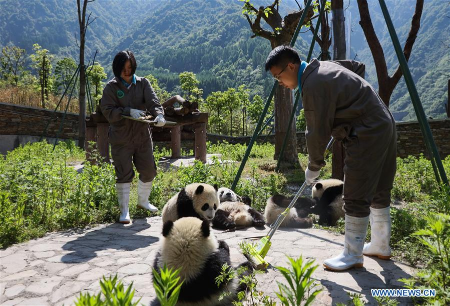 Shenshuping protection base home to more than 50 giant pandas