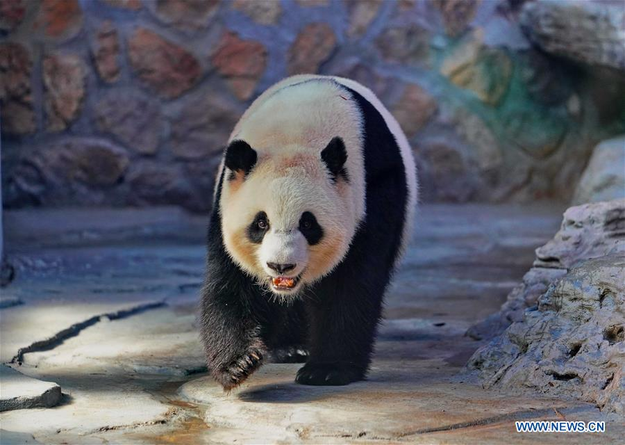 Four giant pandas from Chengdu start three-year trip in northern cities