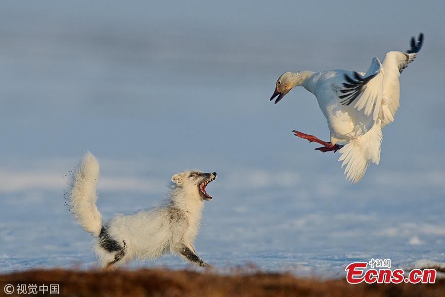 Wild Arctic fox photos from Wrangel Island