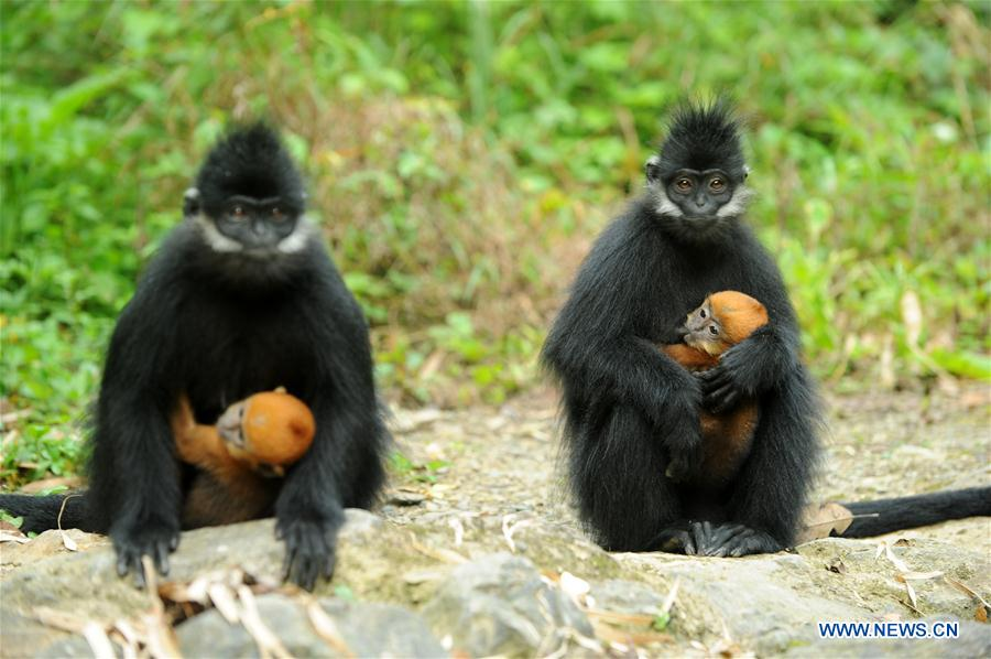 Francois's langurs seen in SW China's Guizhou
