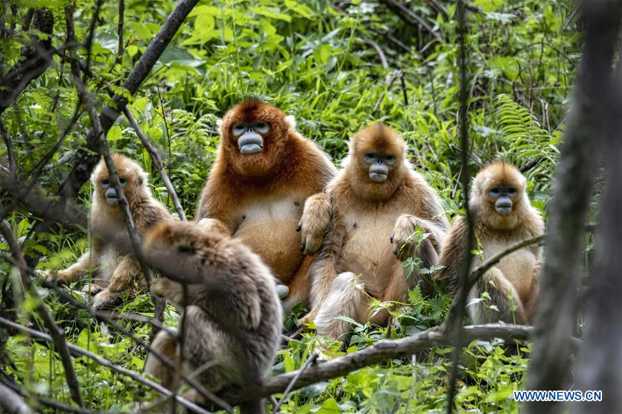 Golden monkeys seen in Shennongjia National Park