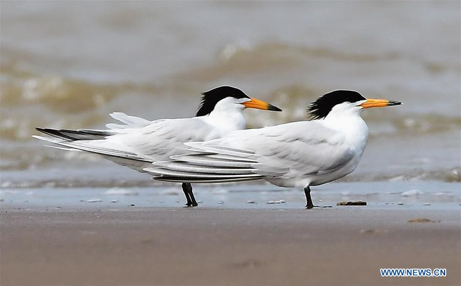 Chinese Lesser Crested Terns seen in Fujian