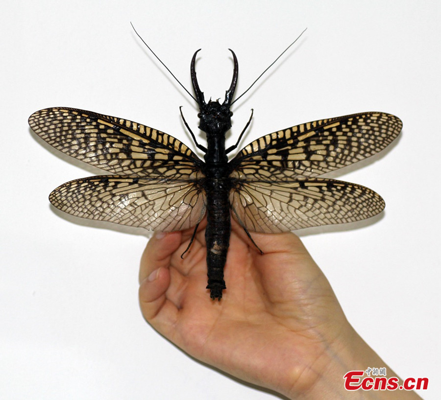 World's Largest Aquatic Insect Found In Sichuan (1/5