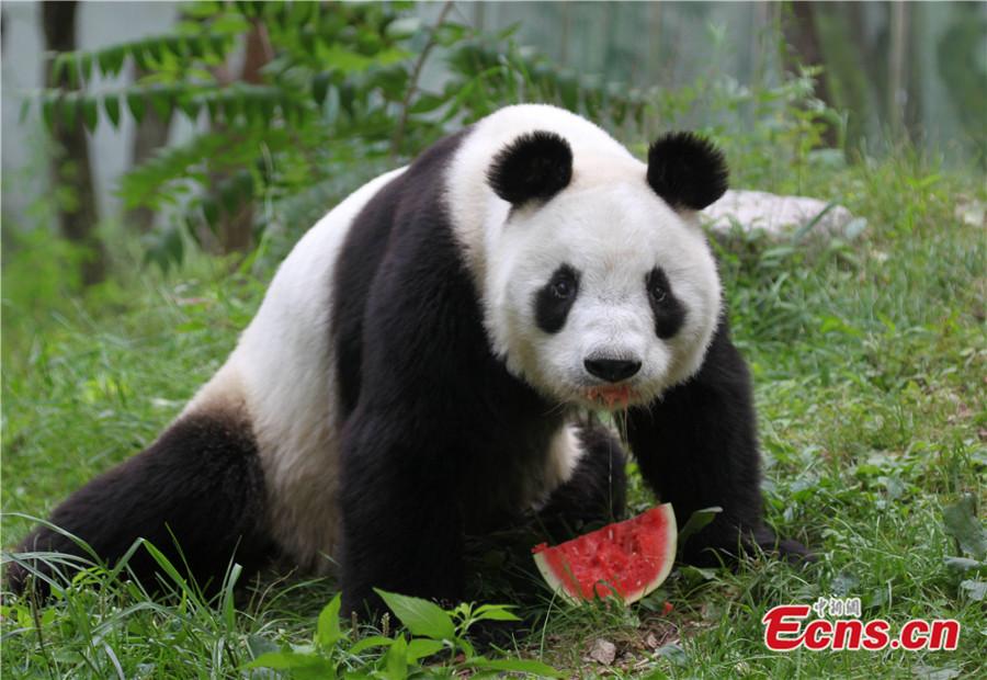 Giant pandas fight summer heat at Qinling base, Shaanxi (1/5 ...