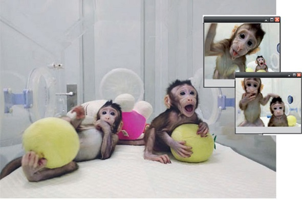Zhongzhong and Huahua, the world's first cloned monkeys using somatic cells, play in their chamber at the Chinese Academy of Sciences Institute of Neurosciences in Shanghai. (Photo provided to China Daily)