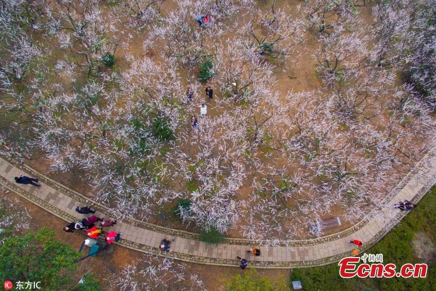 Beautiful sea of plum blossom in Hangzhou