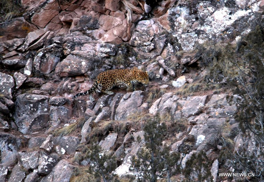 Ranger photographs rare leopard in NW China