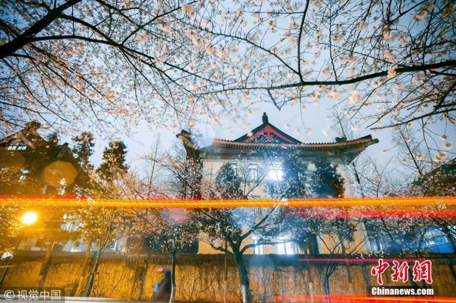 Cherry blossoms the star of Nanjing in March